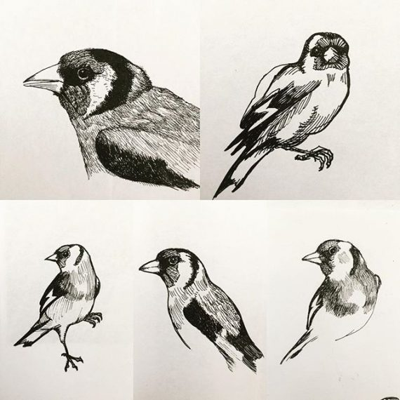 Sketching Goldfinches , #goldfinch #birds #ornithology #sketchbook #finch #penandink #rotring #carbonink #fountainpen #isograph