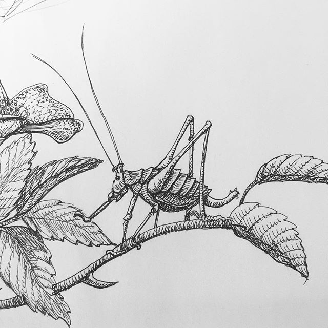The Bush Cricket, rough-ish sketch work for a border illustration. #insects #cricket #bushcricket #entomology #dogrose #illustration #penandink #rotring #fineliner